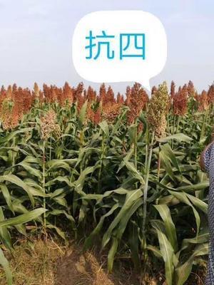 河北省沧州市青县抗四高粱种 杂交种 ≥97%