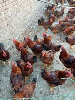 这是一张关于大红公鸡 6-7斤 公 的产品图片