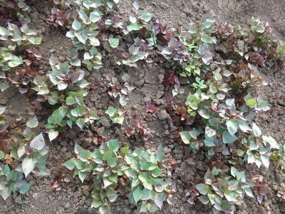 这是一张关于西瓜红红薯苗 15~25cm 的产品图片