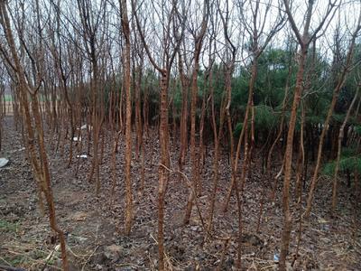 这是一张关于流苏树  (一至六公分都有)的产品图片