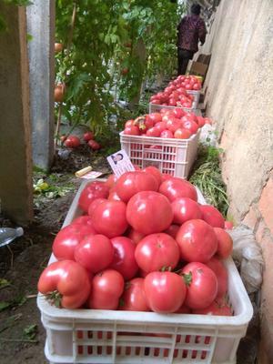 江苏省连云港市赣榆区硬粉番茄 精品 弧三以上 硬粉