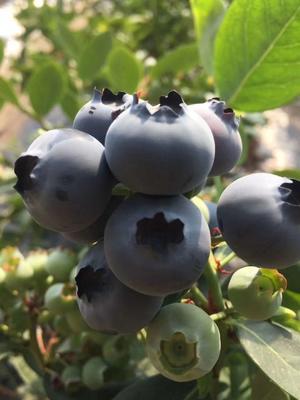 辽宁省丹东市宽甸满族自治县北陆蓝莓 15mm以上 鲜果