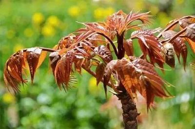 这是一张关于红香椿芽 6~9cm 的产品图片