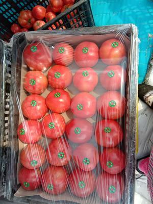 山东省临沂市费县粉果番茄 通货 弧三以上 硬粉