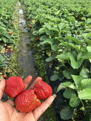 这是一张关于法兰地草莓苗 10~20公分 地栽苗 的产品图片