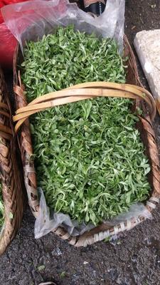 这是一张关于清明草 的产品图片