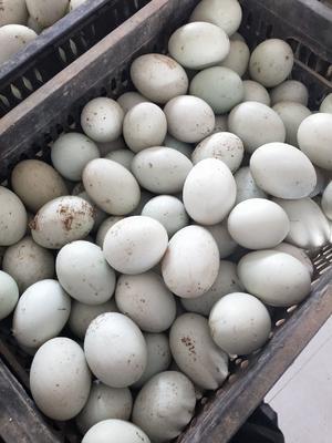 河北省邯郸市馆陶县麻鸭蛋 食用 散装
