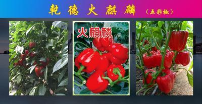 这是一张关于火麒麟彩椒种子甜椒种 杂交种 ≥85% 的产品图片