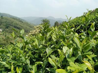 这是一张关于野生绿茶 一级 袋装 的产品图片