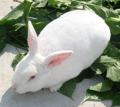 这是一张关于新西兰兔 1-3斤 的产品图片