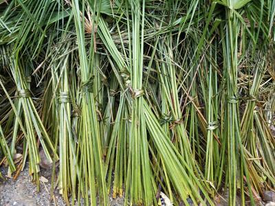 这是一张关于造型棕榈树 的产品图片