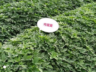 这是一张关于广薯87红薯苗 25~35cm 的产品图片