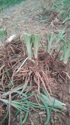 这是一张关于黄花菜苗 的产品图片