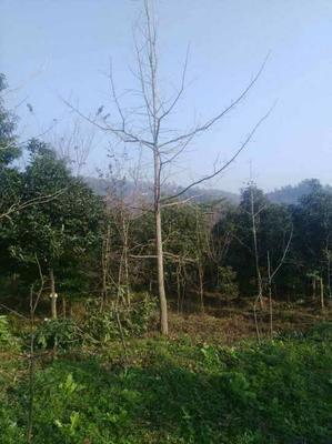 四川省成都市崇州市银杏实生树