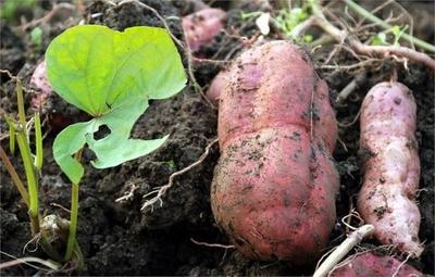 这是一张关于番薯 3两~6两 红皮 的产品图片