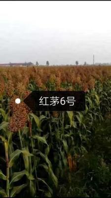 河北省沧州市青县红茅六号高粱种子 常规种 ≥97%