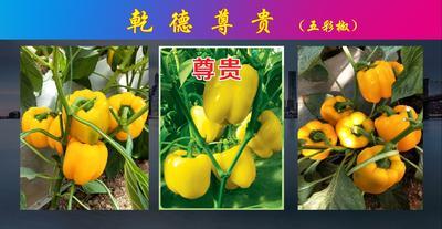 这是一张关于尊贵彩椒种子甜椒种子 杂交种 ≥85% 的产品图片