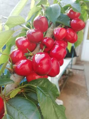 这是一张关于美早樱桃 22-24mm 8-12g 的产品图片