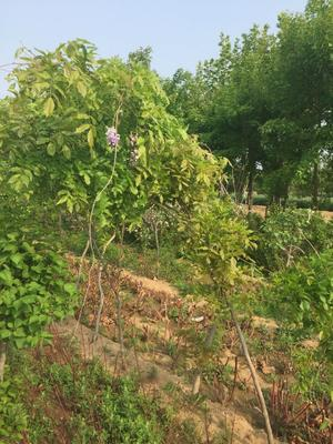 山东省泰安市岱岳区多花紫藤  1~1.5米 1~2公分 紫藤树苗