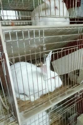这是一张关于伊普吕兔 3-5斤 的产品图片