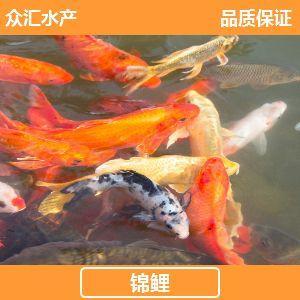 广东省广州市花都区锦鲤鱼苗