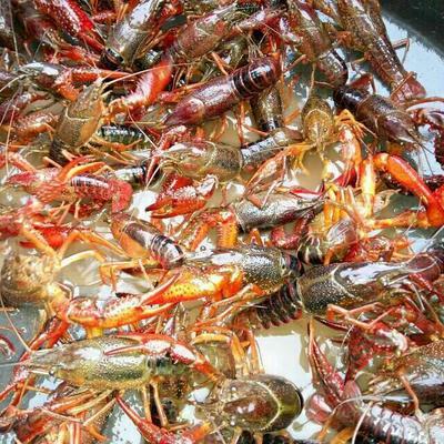 这是一张关于龙虾苗 的产品图片