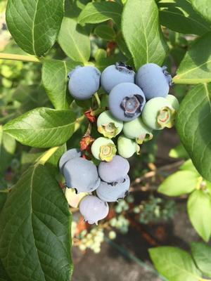 辽宁省丹东市振安区北陆蓝莓 4 - 6mm以上 鲜果