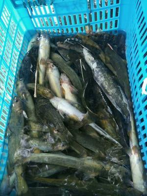 陕西省汉中市西乡县野生黄颡鱼 野生 0.25-1公斤