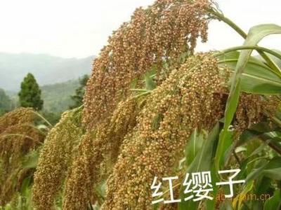 河北省沧州市青县红缨子高粱种子 常规种 ≥97%