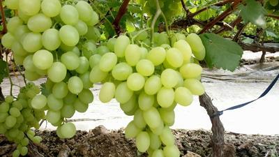 山东省聊城市冠县维多利亚葡萄 2斤以上 5%以下 1次果