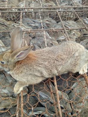 这是一张关于比利时兔 3-5斤 的产品图片