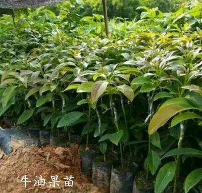 广西壮族自治区钦州市灵山县牛油果种子  牛油果苗