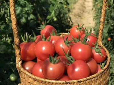 福建省漳州市龙文区千禧西红柿 精品 弧一以下 硬粉