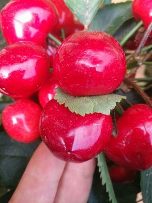 这是一张关于大樱桃 20-22mm 8-12g 的产品图片