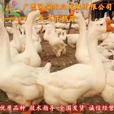 广西壮族自治区南宁市兴宁区大三花鹅苗