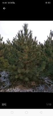 这是一张关于山地油松 油松油松的产品图片