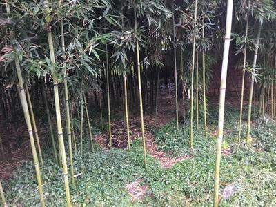 这是一张关于苦竹 的产品图片