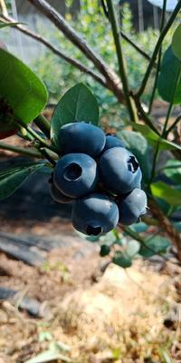 辽宁省丹东市宽甸满族自治县绿宝石蓝莓 12 - 14mm以上 鲜果