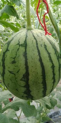 山东省济南市商河县珍珠红西瓜 3斤打底 9成熟 1茬 有籽