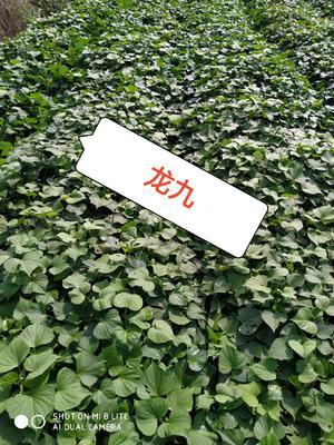 这是一张关于龙薯9号红薯苗 25~35cm 的产品图片