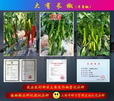 这是一张关于大有长椒羊角椒种子 常规种(大田用种) ≥85% 的产品图片