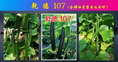 这是一张关于乾德107黄瓜种子 杂交种 ≥90% 的产品图片