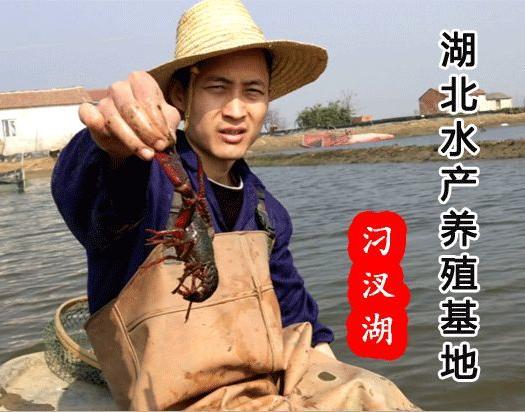刁汊湖小龙虾 青红规格硬4.4-6.9钱酒店夜市专供