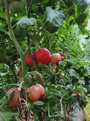 陕西省咸阳市泾阳县普罗旺斯番茄 通货 弧二以上 大红