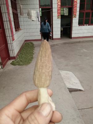 陕西省汉中市城固县干羊肚菌 散装 1年以上