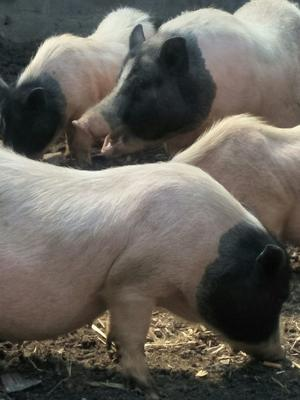 山东省泰安市宁阳县小香猪  40-60斤 包窝母猪