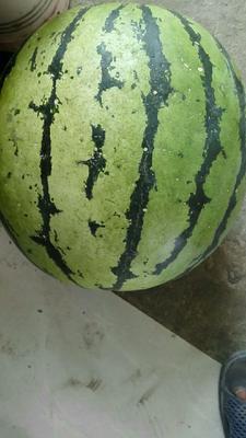 吉林省松原市乾安县庆红999 10斤打底 8成熟 1茬 有籽