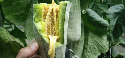这是一张关于博洋61甜瓜 0.5斤以上 的产品图片