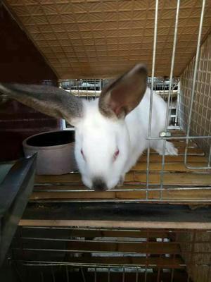这是一张关于伊拉兔 1-3斤 的产品图片