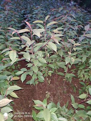四川省泸州市江阳区中国红樱 0.5~1米 4公分以下